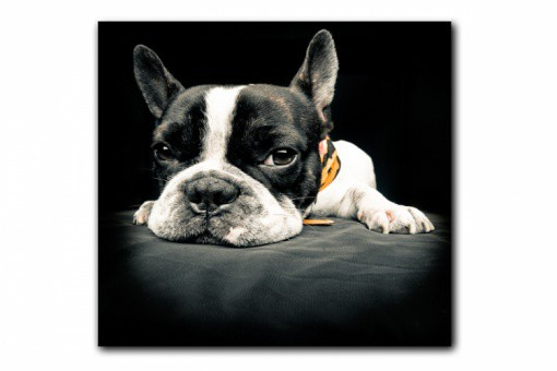 tableau animaux chien bulldog relax 50x50 cm tableaux. Black Bedroom Furniture Sets. Home Design Ideas